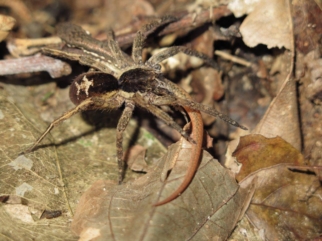 Araña 3