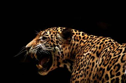 Jaguar.