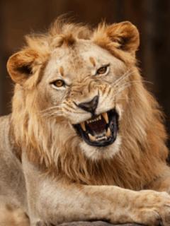 Hombre le suelta león a electricista que le reclamó por demoras en unos pagos