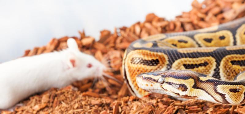 Rata y serpiente