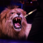 León en circo.