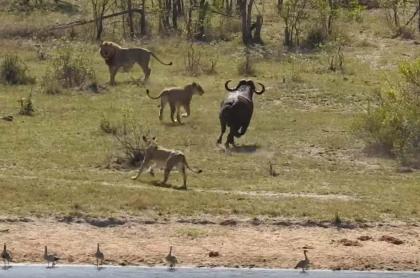 Leones persiguen a búfalo.