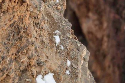 Leopardo de las nieves escondido.