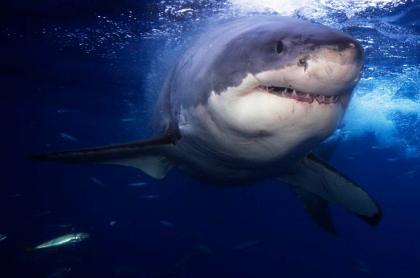 Tiburón blanco.
