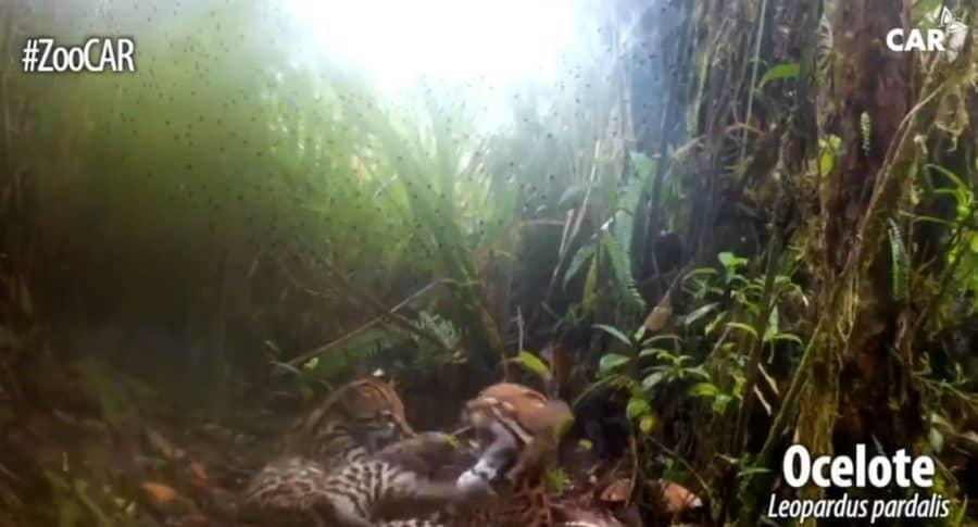 Tigrillos en Cundinamarca