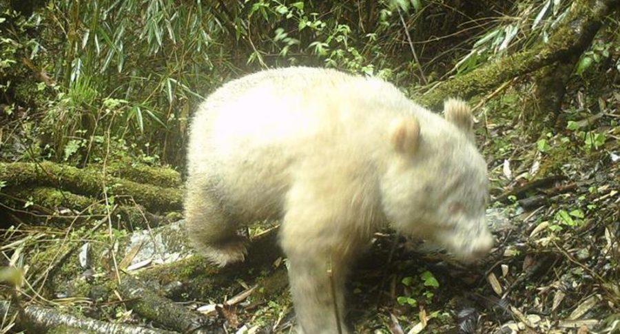 Oso panda albino