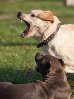 Perros bravos