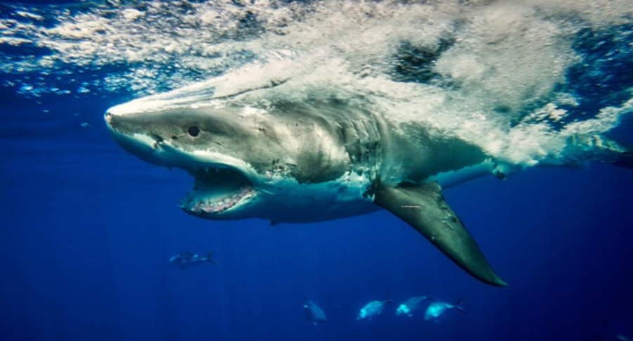 Tiburón.