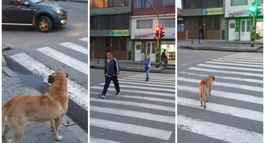 Perro cruza calle por la cebra.