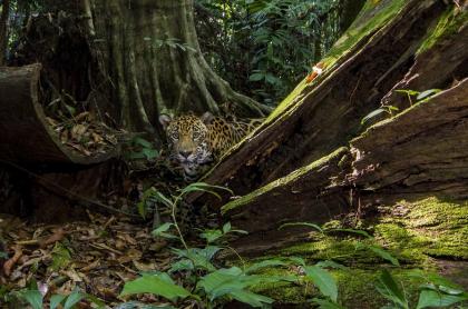 Jaguar en la selva