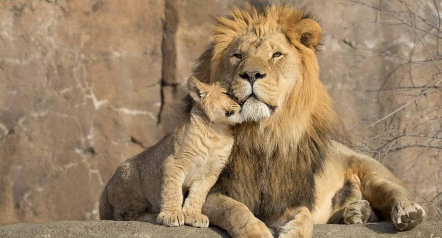 León y su cría.