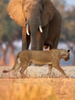 Leona y elefante.