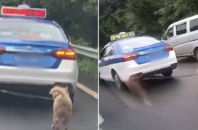 """Despiadado taxista amarra a perro detrás de su carro... porque estaba """"sucio"""""""