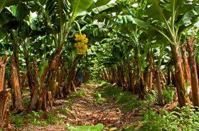 Cultivos de banano en La Guajira, en cuarentena por presunto hongo que causa marchitez