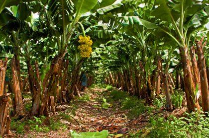 Cultivos de banano