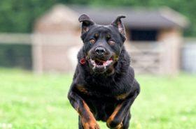 Valiente perro se enfrenta y espanta a oso hambriento que invadió patio de una casa