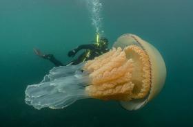 [Video] Buceadora encontró a medusa gigante en el mar de Inglaterra