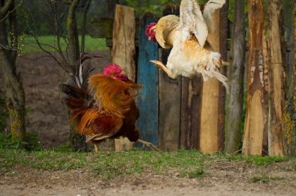 Pelea de gallos.