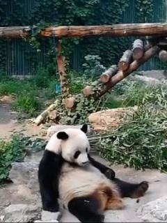 Cruel turista le lanza piedra a un panda solo para que se mueva, y video desata ira