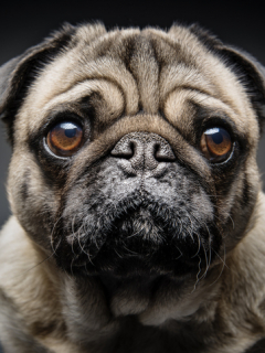 Aterrador maltrato contra perro pug genera que se vuelva adicto al alcohol y la marihuana