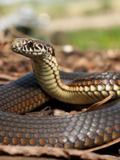 A punta de mordiscos, hombre mató a serpiente que lo atacó... y murió envenenado
