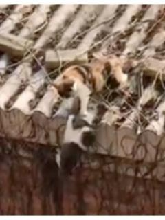 Gato hace caer a otro de un tejado y escena la comparan con una de 'El rey león'