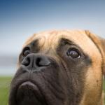 Perro de raza Bullmastiff.