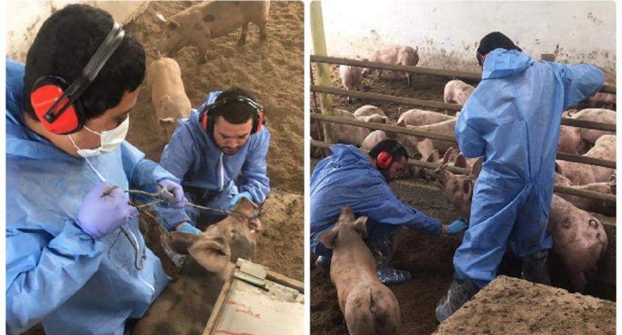 ICA adelanta muestreo de peste porcina