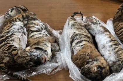 Tigres congelados.