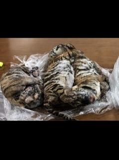 Tigres congelados en Vietnam