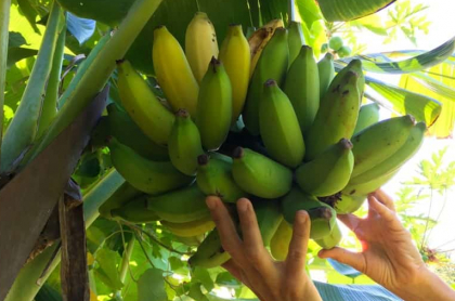 bananos