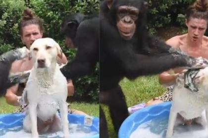 Chimpacés bañando a un perro.