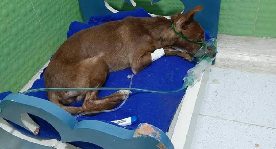 Perro enfermo en clínica