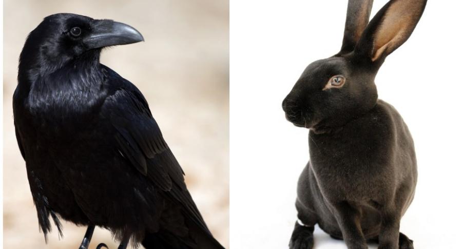Cuervo / conejo.