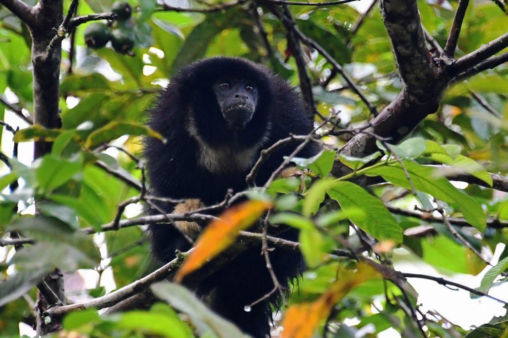 Mono zogue zogue, Amazonas