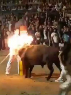 [Video] Miserables fanáticos de corridas prenden fuego a cuernos de toro