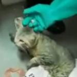 Gato que llevaba celulares a una cárcel.