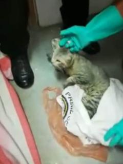 Atrapan gato que llevaba celulares a una cárcel; duraron 5 horas detrás de él