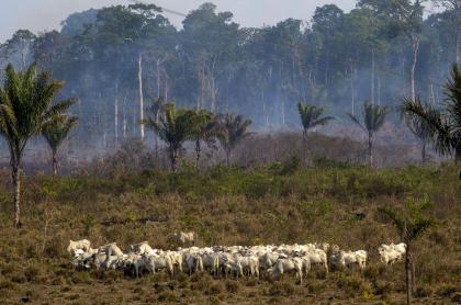 Ganado en área deforestada