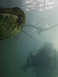 ¡Escalofriante! 2 buzos se encuentran de frente con anaconda gigante de 7 metros