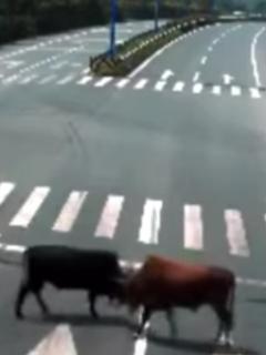 ¿Sería por una vaca? 2 toros furiosos protagonizan lucha en medio de una autopista