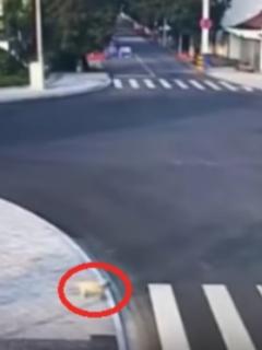 Perro cruza la calle por la cebra al lado de peatón que fue arrollado por imprudente