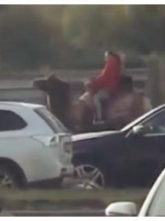 ¿Funcionaría en Bogotá? Mujer galopa un camello para evitar los tediosos trancones