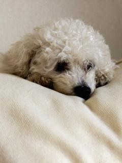 Perro se drogó al comer galleta con marihuana que halló en un parque y casi muere