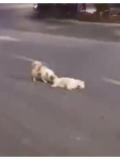 Fiel perro permaneció 3 horas al lado de su amigo que atropellaron en una calle