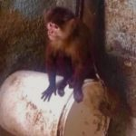 Mono capuchino.