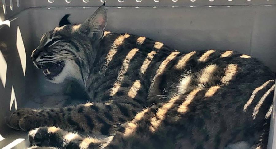 Lince o gato salvaje