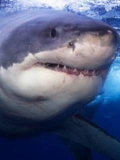 Así fue el impactante ataque de un tiburón a un lobo marino visto desde un dron
