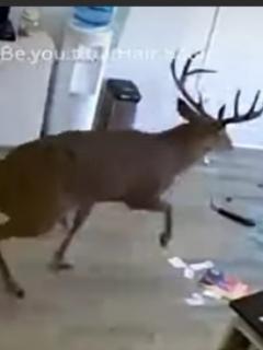 [Video] Ciervo causa pánico en peluquería al entrar violentamente por una ventana