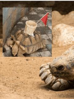 Tratan a tortuga como pozo de la fortuna: le pegaron canasta en su caparazón, en zoológico
